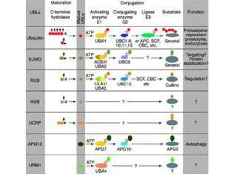 Image no. 2 for anti-Hub1 antibody (ABIN100576)