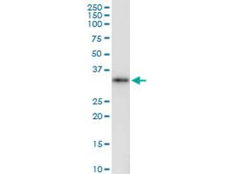 Immunoprecipitation (IP) image for anti-Ficolin (Collagen/fibrinogen Domain Containing) 1 (FCN1) (AA 1-326), (full length) antibody (ABIN515575)
