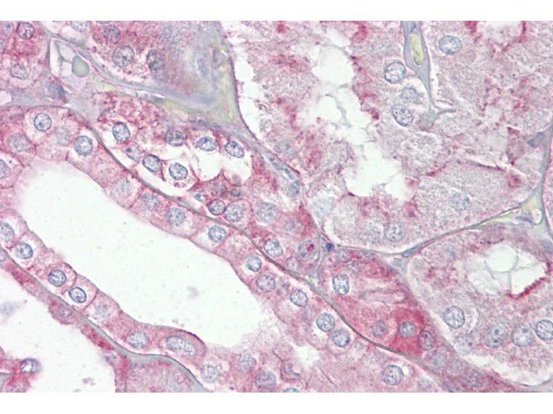 Immunohistochemistry (IHC) image for anti-SPTAN1 antibody (Spectrin alpha Chain, Brain) (N-Term) (ABIN504492)