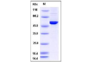 Image no. 1 for Dopa Decarboxylase (Aromatic L-Amino Acid Decarboxylase) (DDC) (AA 1-480) protein (His tag) (ABIN2008312)