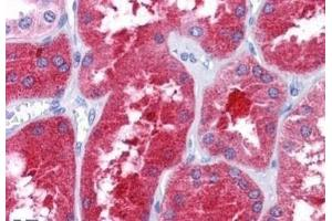 Immunohistochemistry (Paraffin-embedded Sections) (IHC (p)) image for anti-REEP3 抗体 (Receptor Accessory Protein 3) (C-Term) (ABIN4349810)