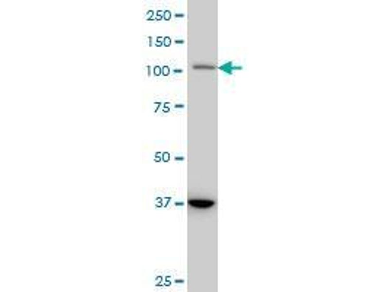 Western Blotting (WB) image for anti-Signal Transducer and Activator of Transcription 2, 113kDa (STAT2) (AA 742-851) antibody (ABIN393838)