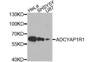 Image no. 2 for anti-Adenylate Cyclase Activating Polypeptide 1 (Pituitary) Receptor Type I (ADCYAP1R1) antibody (ABIN3023490)