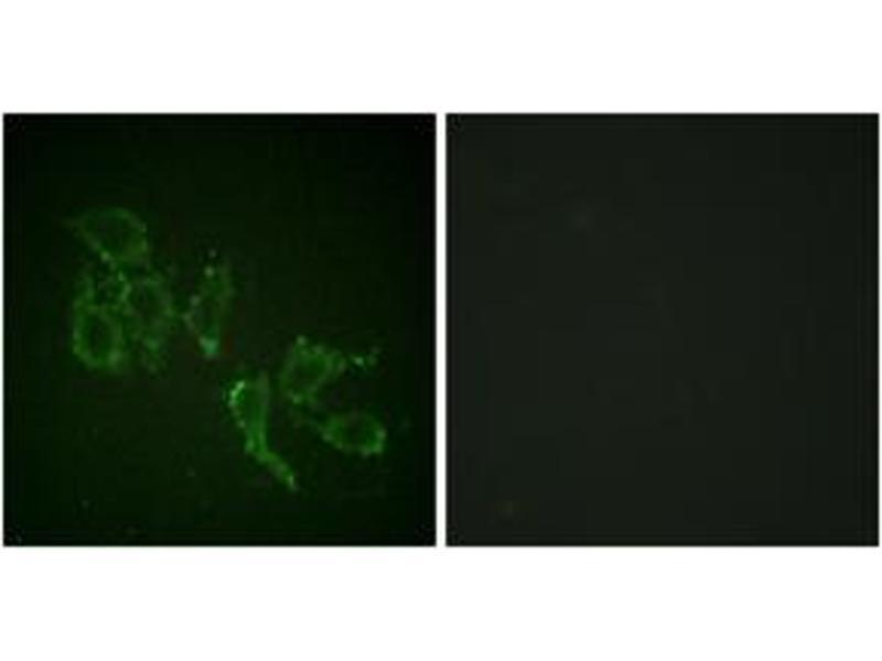 Immunofluorescence (IF) image for anti-V-Raf Murine Sarcoma 3611 Viral Oncogene Homolog (ARAF) (AA 276-325), (pTyr302) antibody (ABIN1531487)