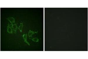 Immunofluorescence (IF) image for anti-ARAF antibody (V-Raf Murine Sarcoma 3611 Viral Oncogene Homolog) (pTyr302) (ABIN1531487)