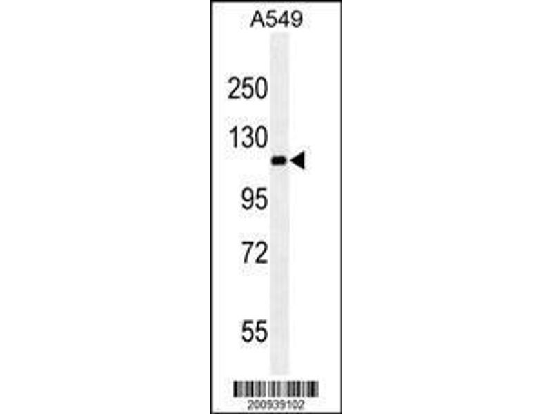 Western Blotting (WB) image for anti-Ret Proto-Oncogene (RET) antibody (ABIN659065)
