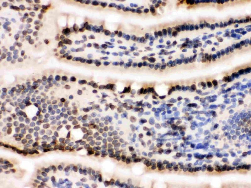 Immunohistochemistry (IHC) image for anti-Lamin B1 (LMNB1) (AA 266-583) antibody (ABIN3042505)