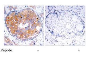 Image no. 1 for anti-MAP2K2 antibody (Mitogen-Activated Protein Kinase Kinase 2) (Thr394) (ABIN197106)