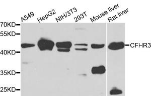 Image no. 1 for anti-Complement Factor H-Related 3 (CFHR3) antibody (ABIN6571354)