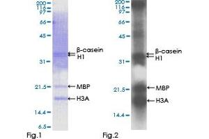 Western Blotting (WB) image for SRSF Protein Kinase 1 (SRPK1) (AA 1-655), (full length) protein (GST tag) (ABIN1321342)