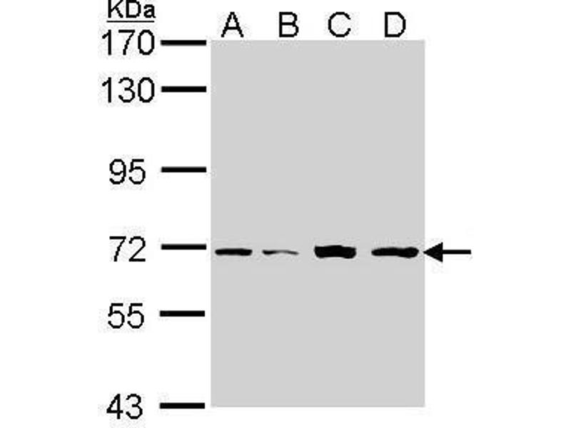 Western Blotting (WB) image for anti-Interleukin-1 Receptor-Associated Kinase 2 (IRAK2) (Internal Region) antibody (ABIN2855414)