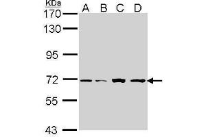 Image no. 1 for anti-Interleukin-1 Receptor-Associated Kinase 2 (IRAK2) (Internal Region) antibody (ABIN2855414)