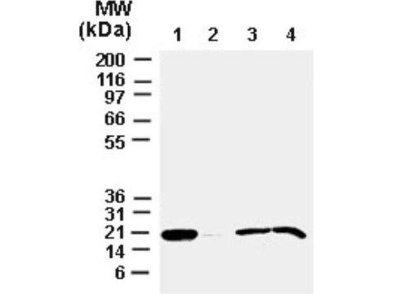Western Blotting (WB) image for anti-BCL2-Associated X Protein (BAX) antibody (ABIN4283098)