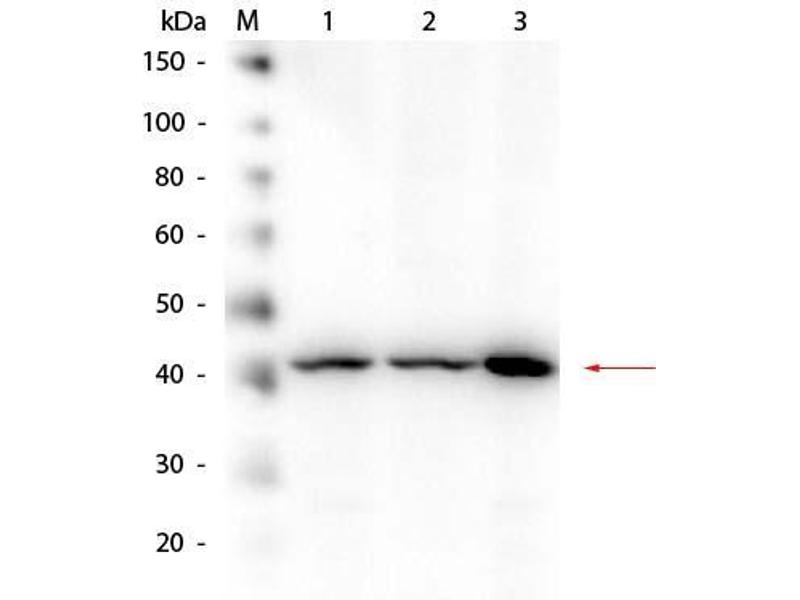 Image no. 6 for anti-Amyloid beta (Abeta) (N-Term) antibody (ABIN95037)