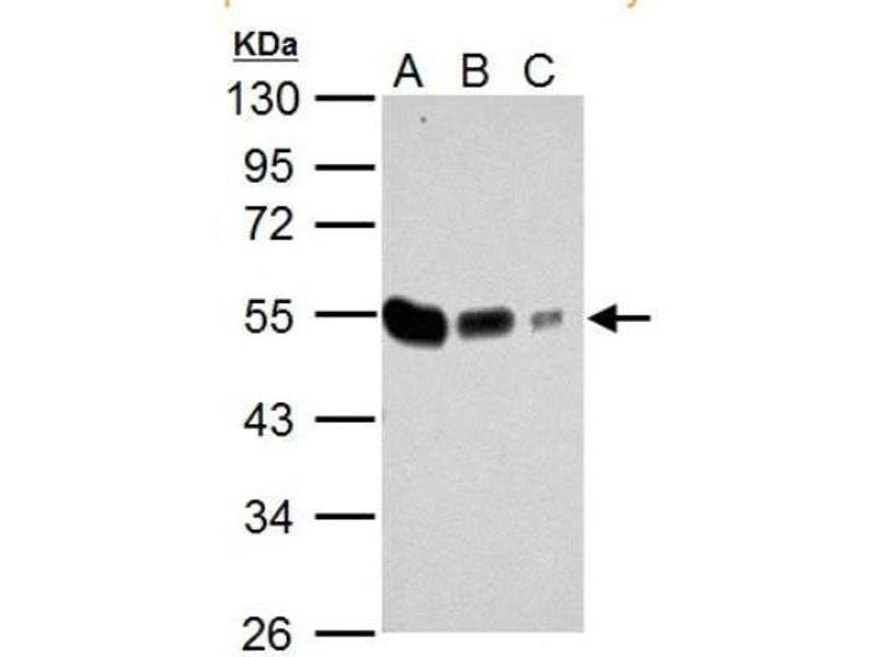 Western Blotting (WB) image for anti-Tubulin, alpha 4a (TUBA4A) (Center) antibody (ABIN4279791)