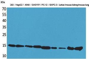 Image no. 1 for anti-Peptidylprolyl Isomerase A (Cyclophilin A) (PPIA) (Internal Region) antibody (ABIN3187733)