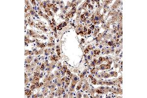 Immunohistochemistry (Paraffin-embedded Sections) (IHC (p)) image for anti-Aryl Hydrocarbon Receptor (AHR) (N-Term) antibody (ABIN249964)
