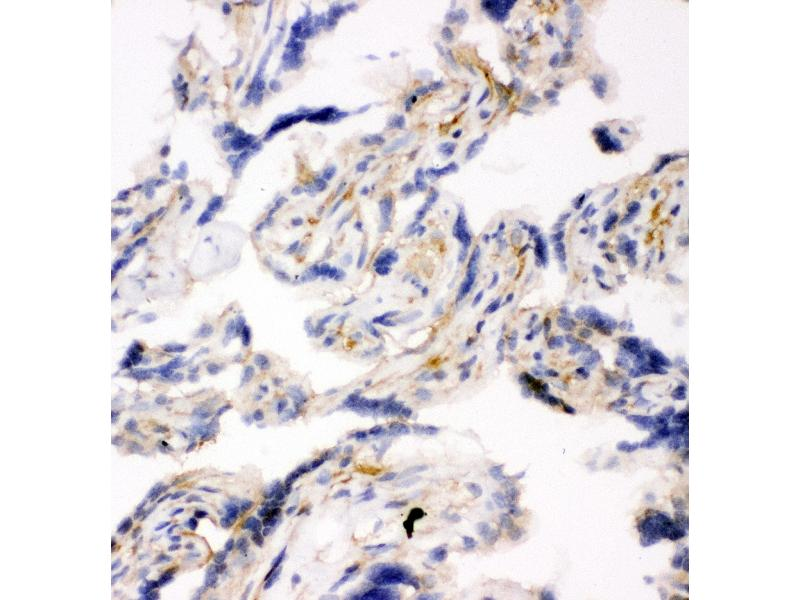 Immunohistochemistry (IHC) image for anti-Synaptosomal-Associated Protein, 23kDa (SNAP23) (AA 192-211), (C-Term) antibody (ABIN3044163)