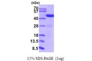 Image no. 1 for Phosphoglycerate Kinase 1 (PGK1) (AA 1-4170) (Active) protein (His tag) (ABIN5854214)
