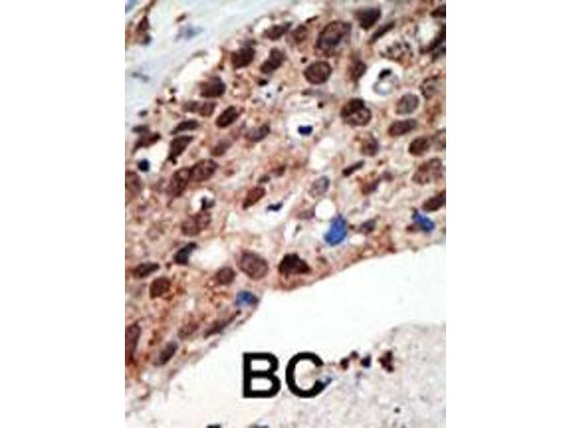 Immunohistochemistry (IHC) image for anti-SETD7 antibody (SET Domain Containing (Lysine Methyltransferase) 7) (AA 159-189) (ABIN387997)