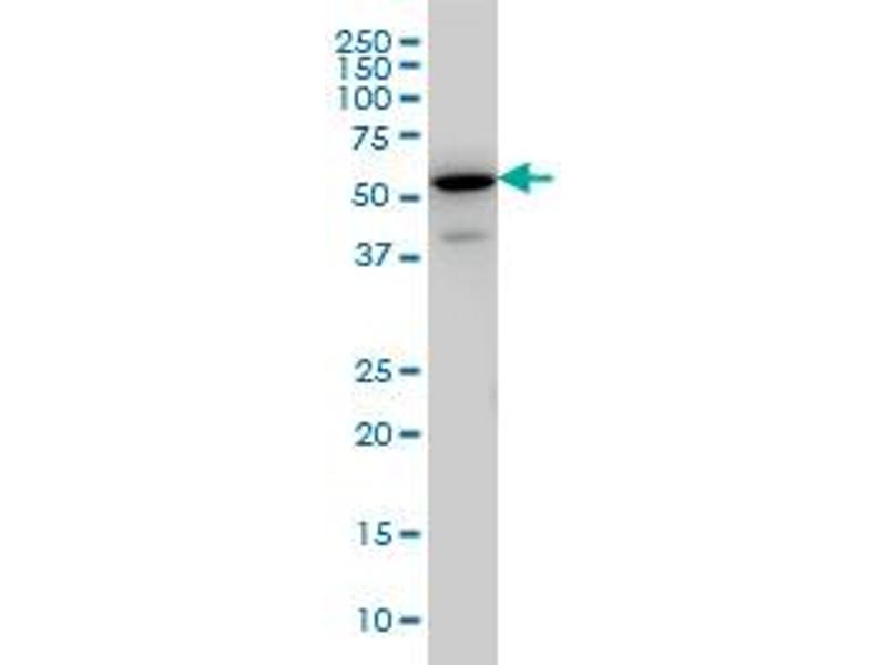 Image no. 2 for anti-EH-Domain Containing 3 (EHD3) (AA 357-407) antibody (ABIN599233)