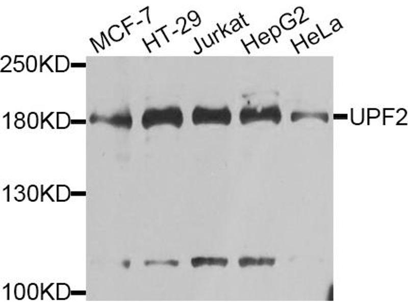 Image no. 1 for anti-UPF2 Regulator of Nonsense Transcripts Homolog (Yeast) (UPF2) antibody (ABIN6567949)