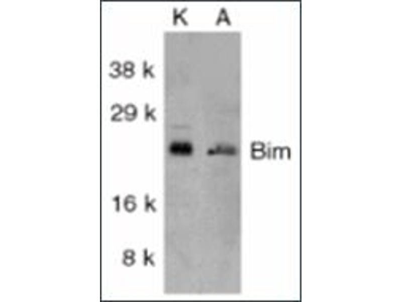 image for anti-BIM antibody (BCL2-Like 11 (Apoptosis Facilitator)) (ABIN264853)