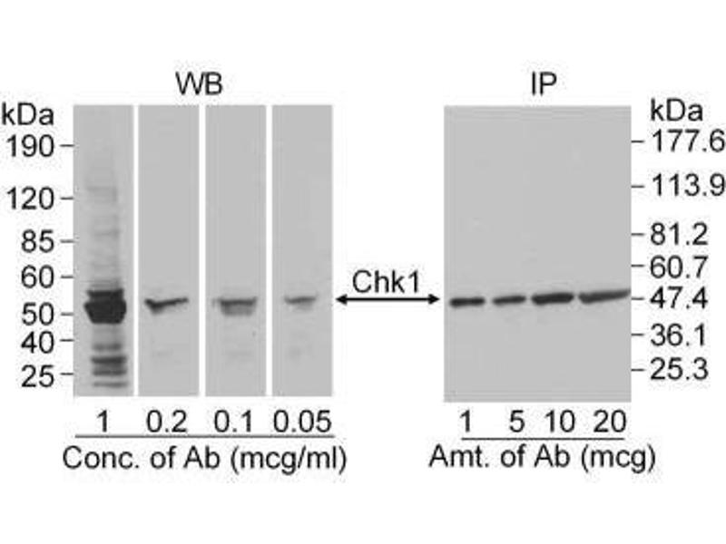 Western Blotting (WB) image for anti-CHEK1 antibody (Checkpoint Kinase 1) (ABIN151777)