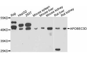 Image no. 1 for anti-Apolipoprotein B mRNA Editing Enzyme, Catalytic Polypeptide-Like 3D (APOBEC3D) antibody (ABIN6567213)