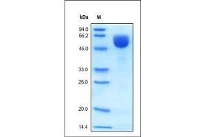 Image no. 1 for Beta-secretase 1 (BACE1) (AA 22-457) protein (His tag) (ABIN2180628)