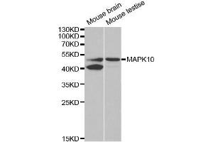 Western Blotting (WB) image for anti-MAPK10 antibody (Mitogen-Activated Protein Kinase 10) (ABIN3022948)
