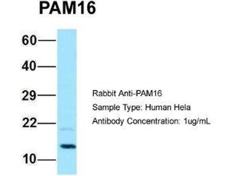 Western Blotting (WB) image for anti-Presequence Translocase-Associated Motor 16 Homolog (S. Cerevisiae) (PAM16) (C-Term) antibody (ABIN4895155)
