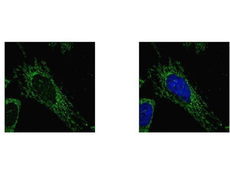Immunofluorescence (IF) image for anti-Succinate-CoA Ligase, alpha Subunit (SUCLG1) (full length) antibody (ABIN2856658)