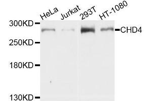 Image no. 1 for anti-Chromodomain Helicase DNA Binding Protein 4 (CHD4) antibody (ABIN6138512)