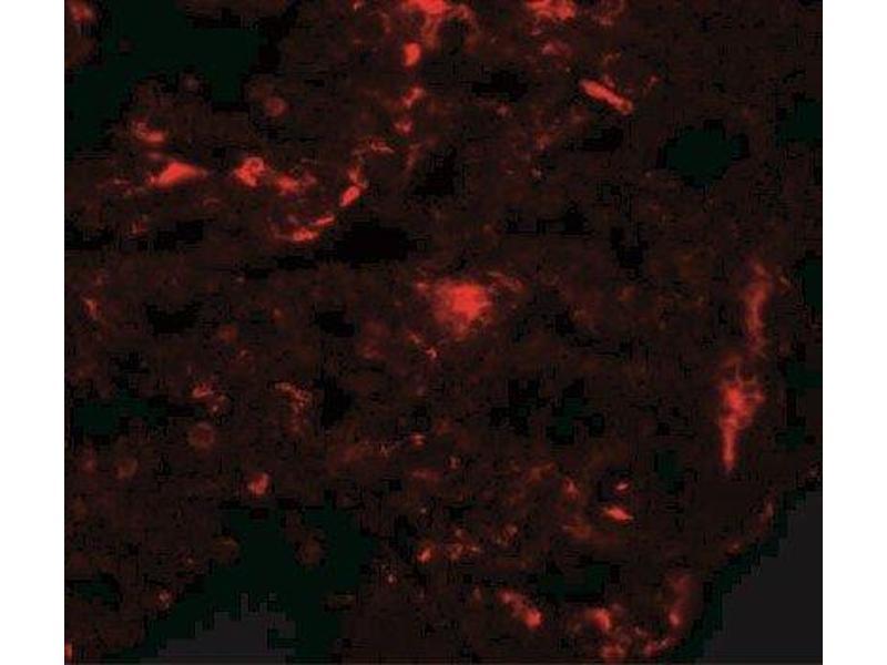 Immunofluorescence (IF) image for anti-Receptor Accessory Protein 2 (REEP2) (Center) antibody (ABIN4349807)