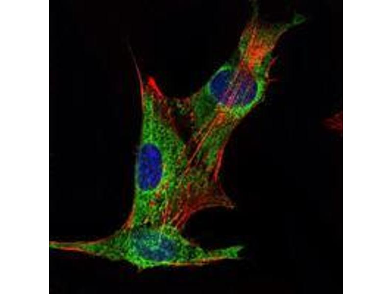 Immunocytochemistry (ICC) image for anti-Inhibin alpha antibody (Inhibin, alpha) (ABIN969217)