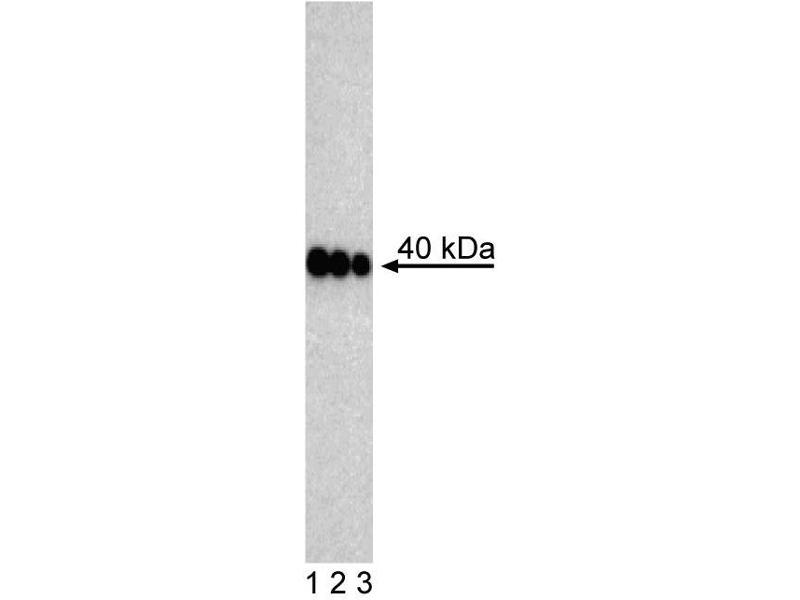 Western Blotting (WB) image for anti-Pancreatic and Duodenal Homeobox 1 (PDX1) antibody (ABIN967683)