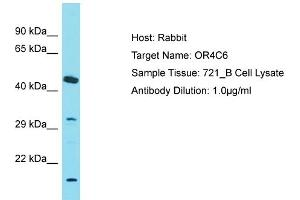 Image no. 1 for anti-Olfactory Receptor, Family 4, Subfamily C, Member 6 (OR4C6) (C-Term) antibody (ABIN2791352)