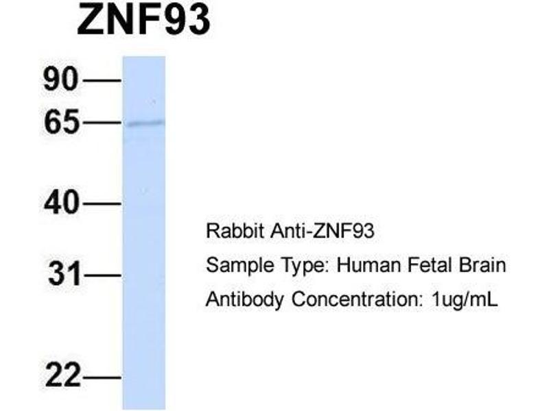 Western Blotting (WB) image for anti-Zinc Finger Protein 93 (ZNF93) (N-Term) antibody (ABIN502882)