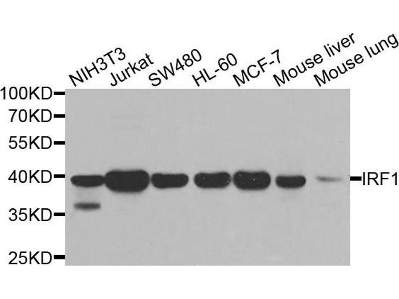 Western Blotting (WB) image for anti-Interferon Regulatory Factor 1 (IRF1) antibody (ABIN2736993)
