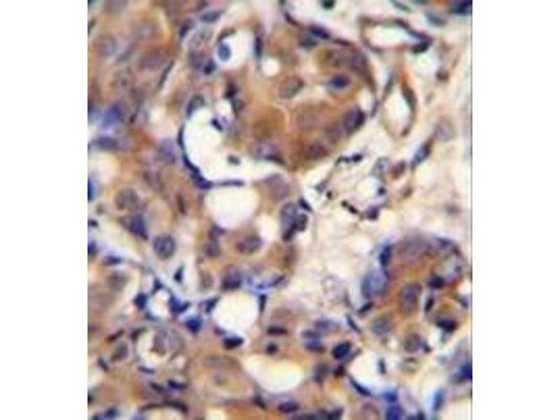 Immunohistochemistry (Paraffin-embedded Sections) (IHC (p)) image for anti-Kininogen 1 (KNG1) (AA 145-174), (N-Term) antibody (ABIN953079)