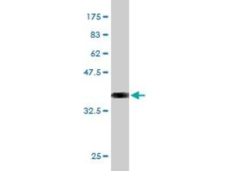 Western Blotting (WB) image for anti-Pleiotrophin (PTN) (AA 45-155) antibody (ABIN396556)