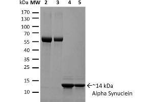 Image no. 1 for Synuclein, alpha (SNCA) (full length) (Active) protein (ABIN5065827)