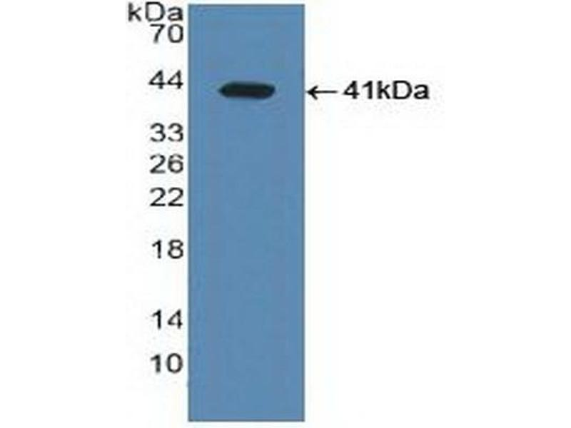 Western Blotting (WB) image for anti-Nuclear Receptor Subfamily 1, Group H, Member 3 (NR1H3) (AA 95-434) antibody (ABIN2937699)