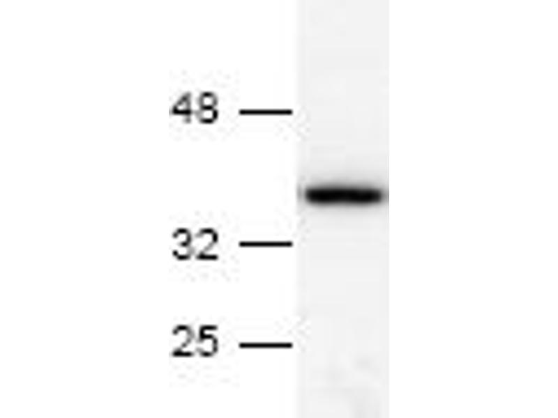 Western Blotting (WB) image for anti-Annexin A5 (ANXA5) antibody (ABIN151429)