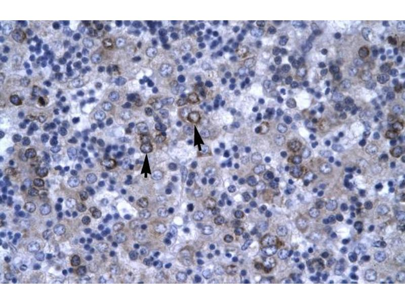 Immunohistochemistry (IHC) image for anti-DBP antibody (D Site of Albumin Promoter (Albumin D-Box) Binding Protein) (N-Term) (ABIN1106958)