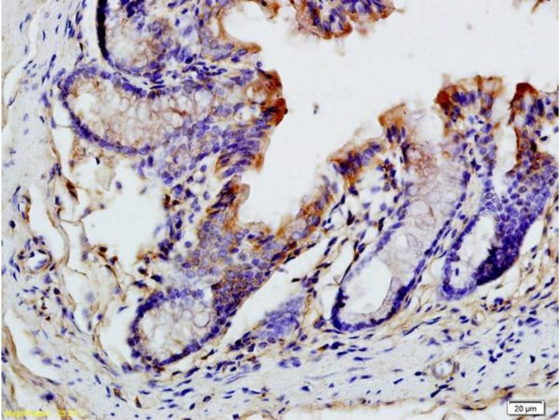 Immunohistochemistry (IHC) image for anti-Chemokine (C-C Motif) Ligand 19 (CCL19) (AA 60-100) antibody (ABIN740505)