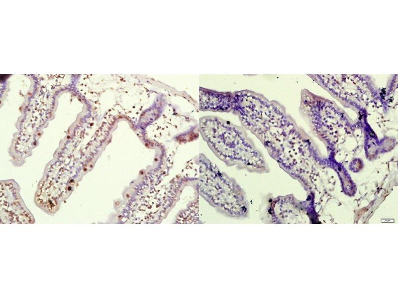 Immunohistochemistry (Paraffin-embedded Sections) (IHC (p)) image for anti-Eukaryotic Translation Initiation Factor 4E Binding Protein 1 (EIF4EBP1) (AA 10-55), (pThr37), (pThr46) antibody (ABIN682978)