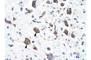 Image no. 1 for anti-Chloride Channel 3 (CLCN3) (C-Term) antibody (ABIN630057)