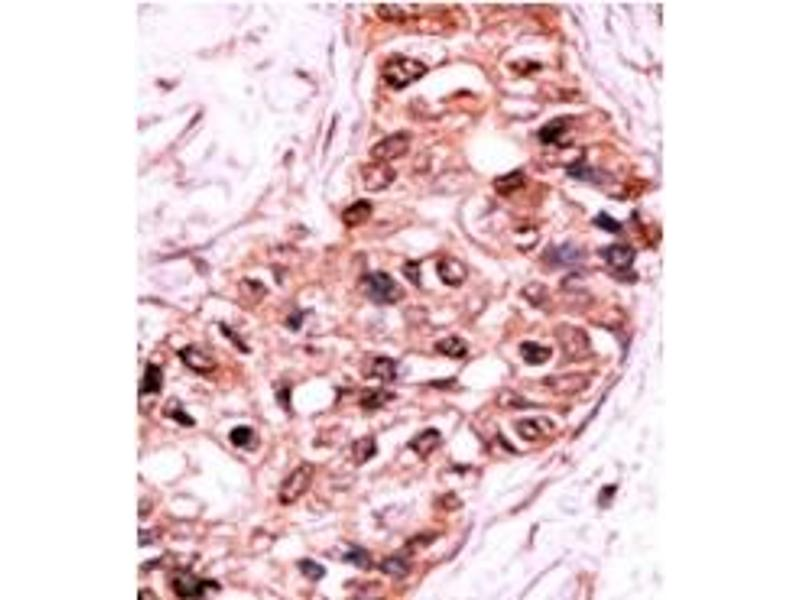 image for anti-Caspase 9 antibody (Caspase 9, Apoptosis-Related Cysteine Peptidase) (pSer196) (ABIN358092)